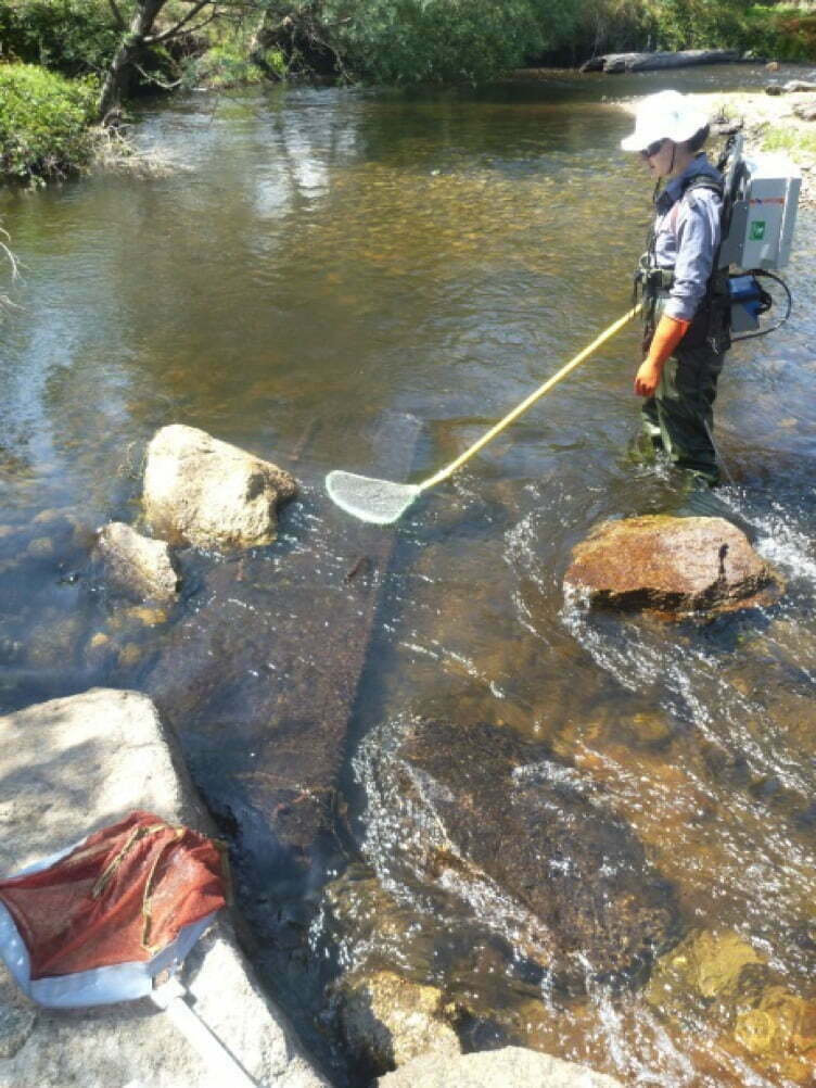 Backpack electrofishing to survey fish from lunkers in the Rubicon River