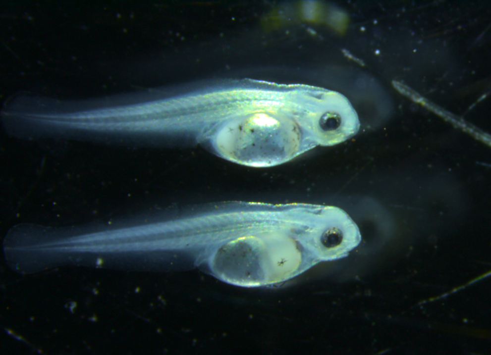 Native fish at larval stage