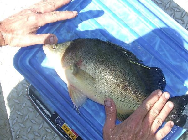 Golden perch with a PIT tag (photo from North Central CMA). Twenty percent of tagged golden perch were found to enter irrigation channels; none were recorded to return to the stream.