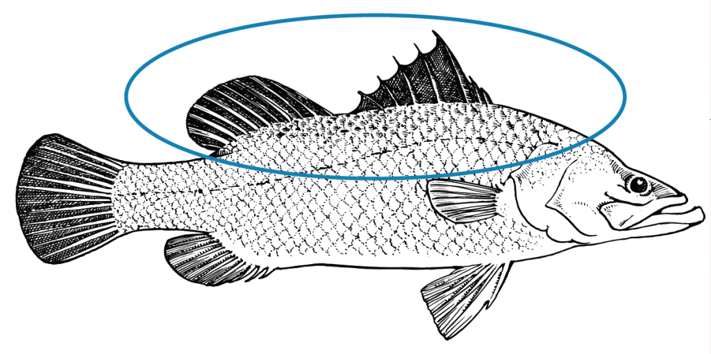 Native fish have a dent or break in their dorsal fin with rounded end.