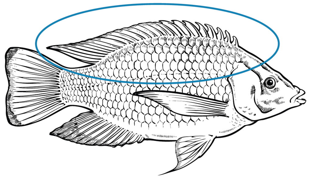 Tilapia have one continuous dorsal (top) fin with a pointed end