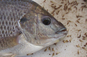 Tilapia fry flushed out of a tilapia's mouth.