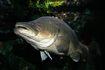Murray cod underwater